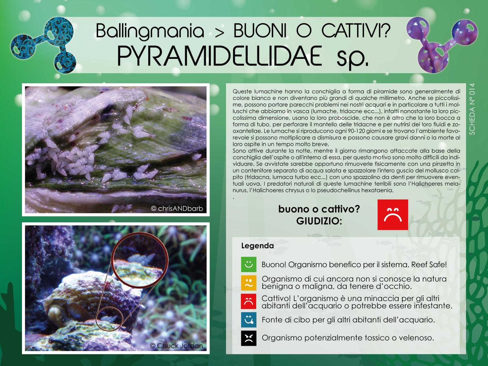 Pyramidellidae Sp.