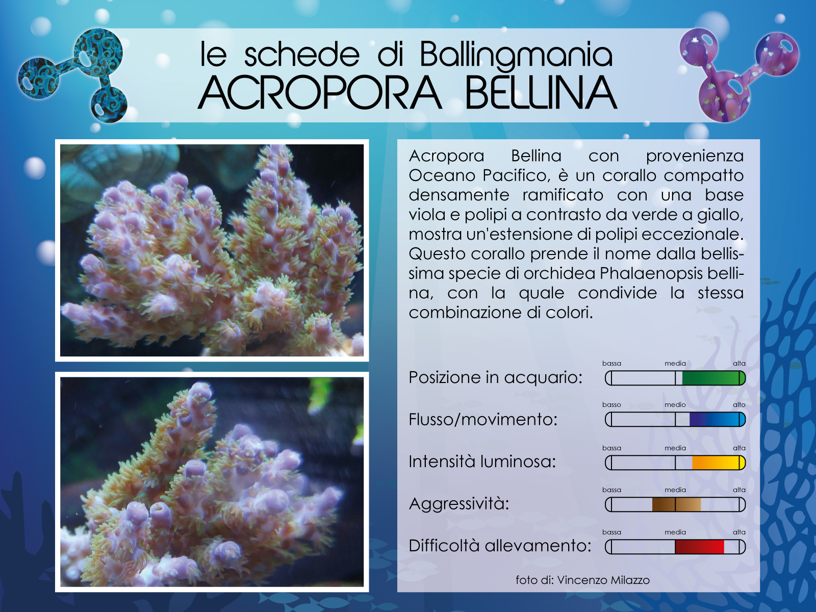 Acropora Bellina