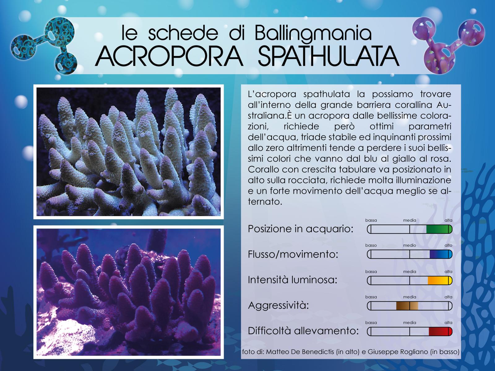 Acropora Spathulata
