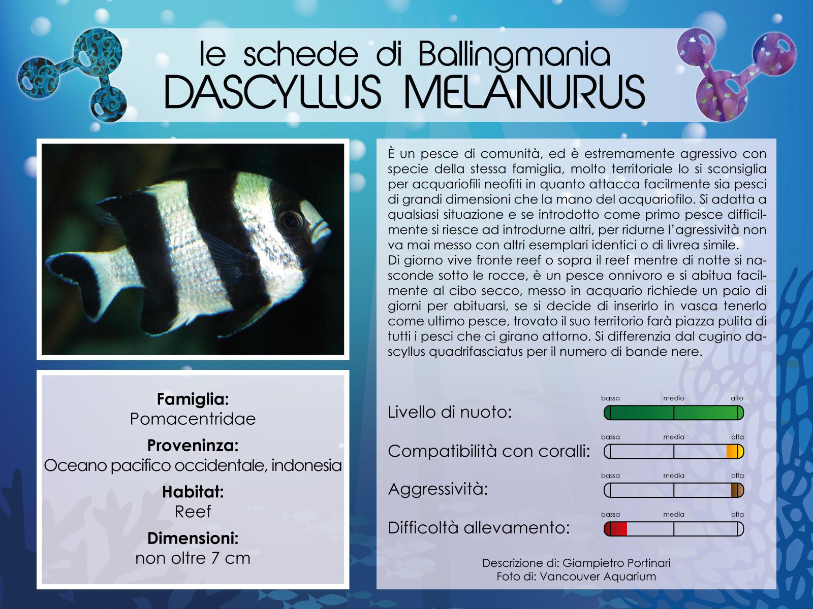 Dascyllus Melanurus