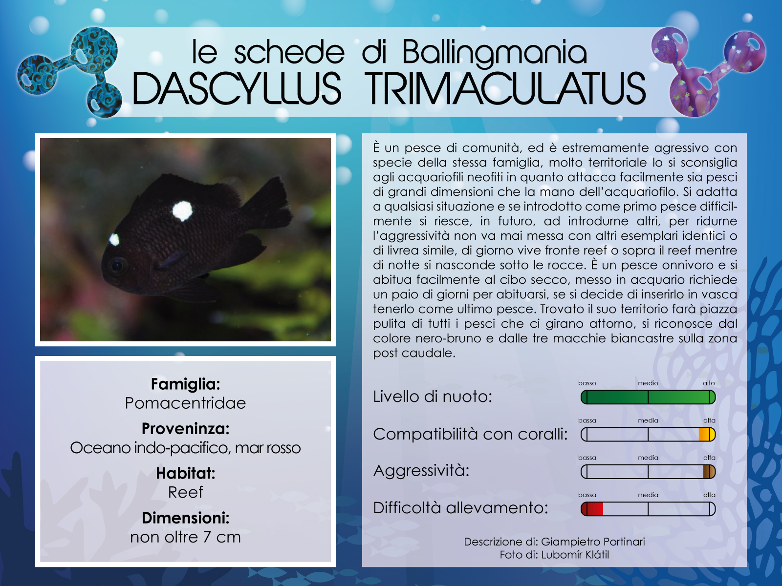 Dascyllus Trimaculatus