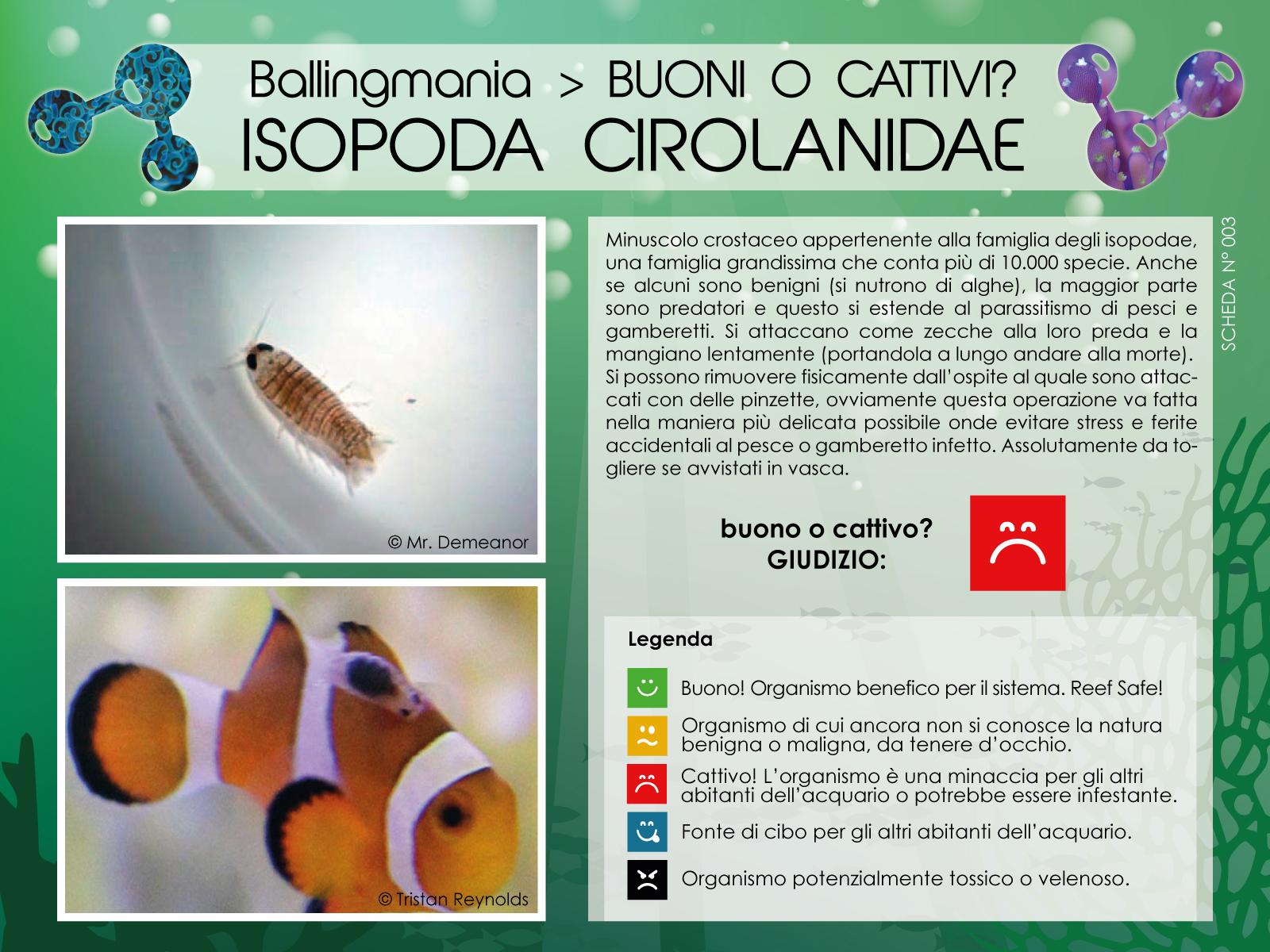 Isopoda Cirolanidae