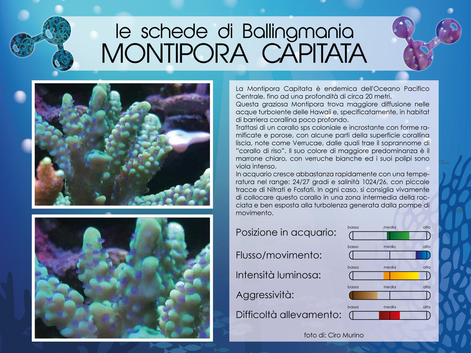 Montipora Capitata