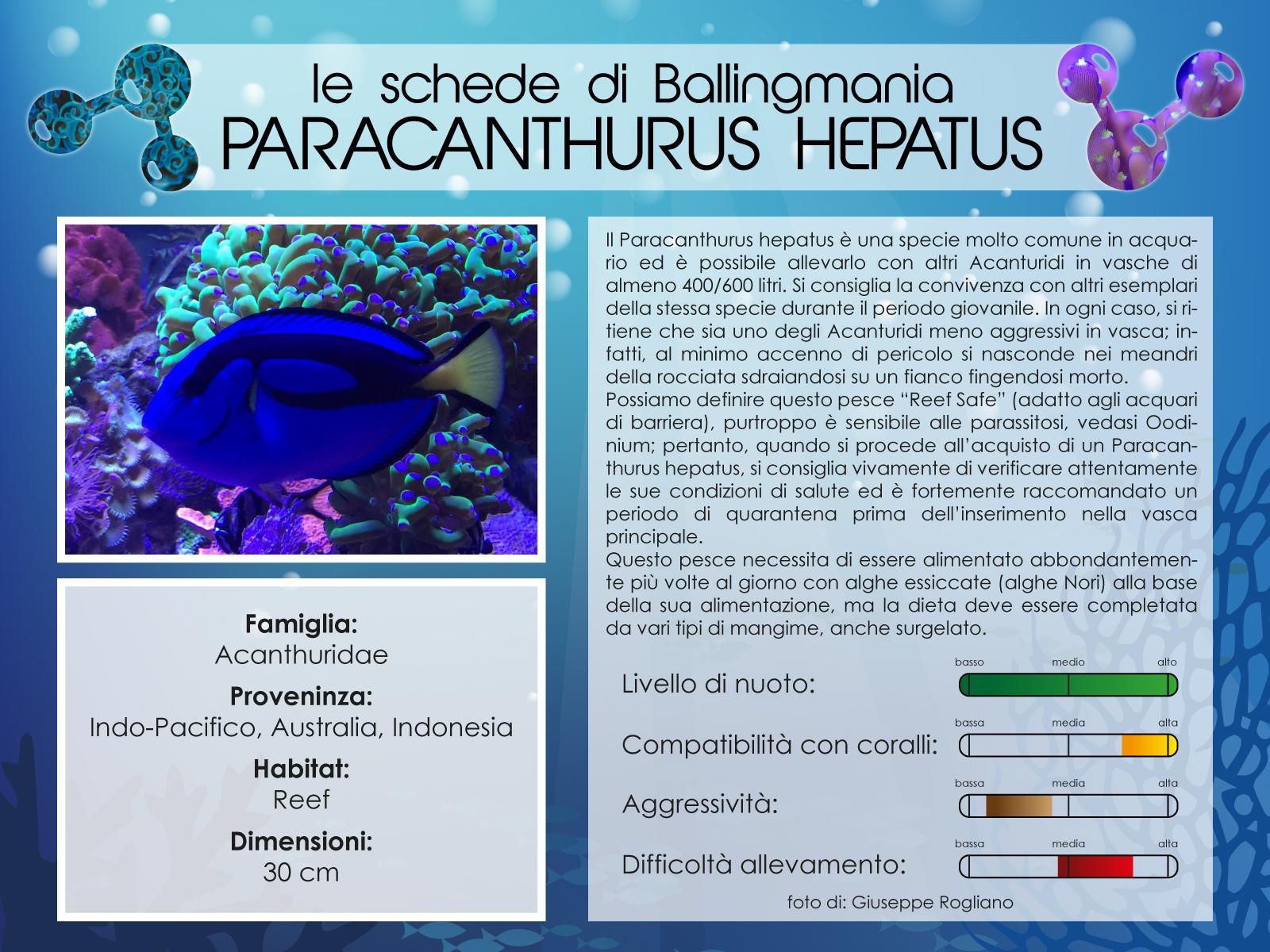 Paracanthurus Hepatus