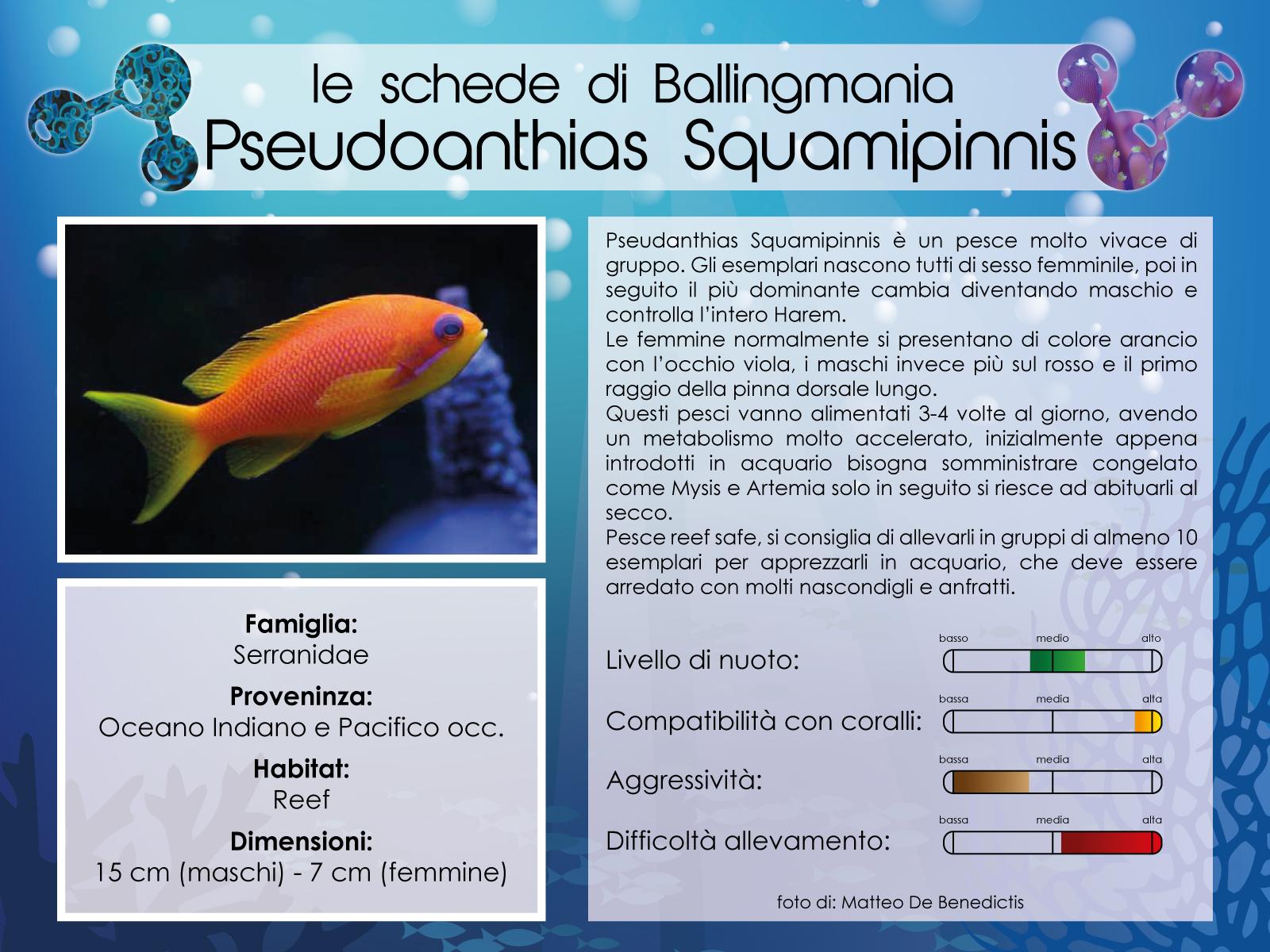 Pseudoanthias Squamipinnis