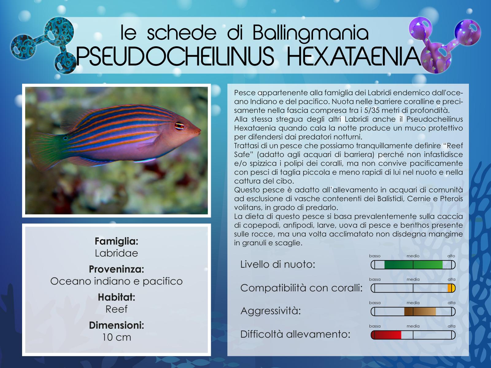 Pseudocheilinus Exataenia