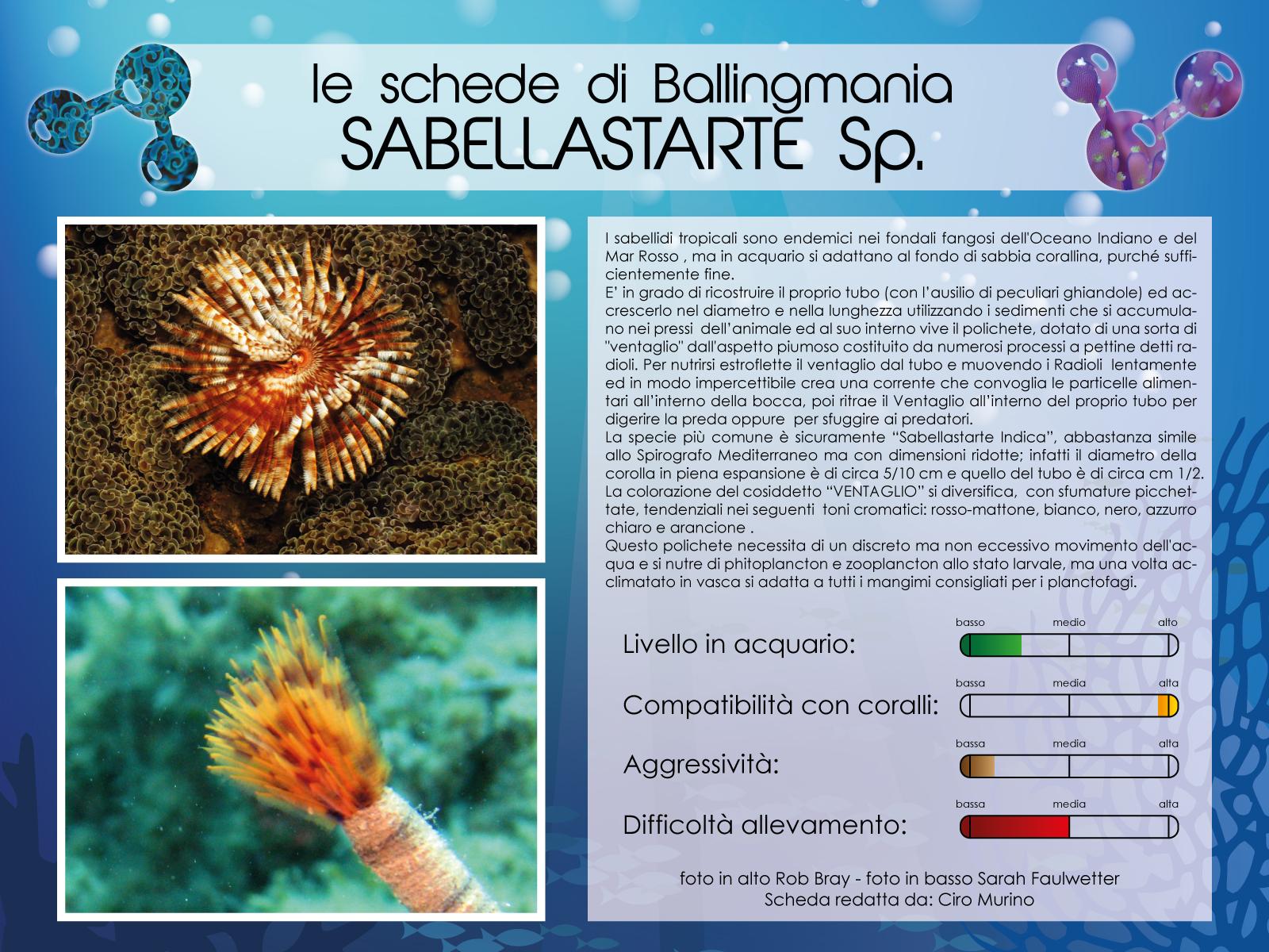 Sabellastarte Sp.
